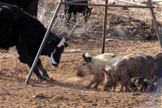 Food and Farm Outsmarting Pigs