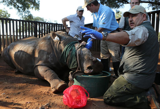 South African rhino endures, 1 year after horrific attack