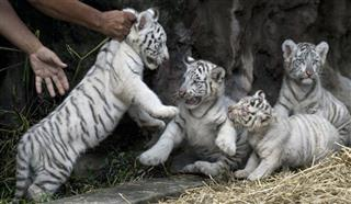 Argentina White Tigers