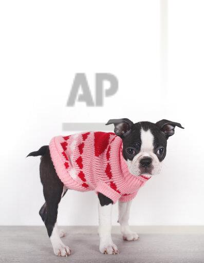 Portrait of Boston terrier puppy wearing pink pullover with hearts