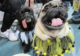 Milwaukee Pug Fest