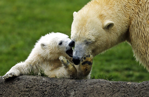 1 of 3 new polar bear cubs makes public debut at Ohio zoo