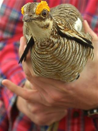 Lesser Prairie Chicken Protections