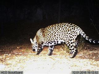 Jaguar Recovery Report