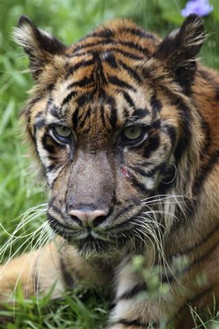 Indonesia Sumatran Tiger