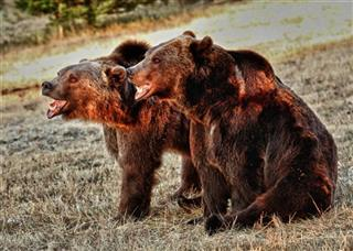Captive Grizzly Mauling