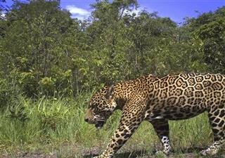 Guyana Protecting Jaguars