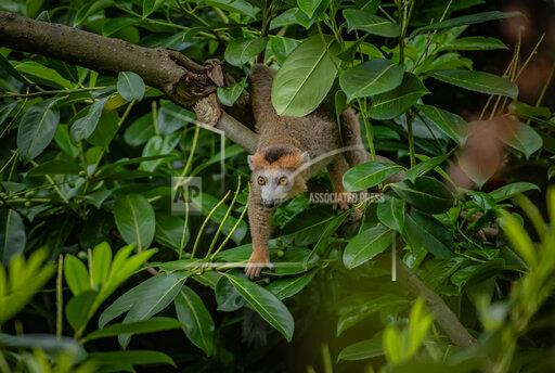 Endangered Crowned Lemurs Leap Into Chester Zoo