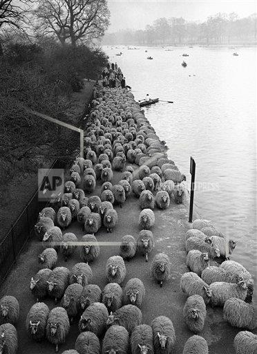Watchf AP I   XEN APHSL51227 England London Flock of Sheep