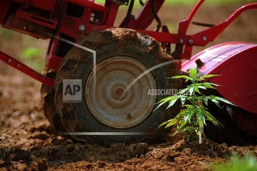 Associated Press Domestic News Mississippi United States THE MARIJUANA PROJECT
