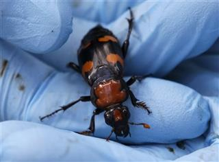 Burying Beetles Release