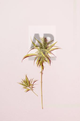 Cannabis leaf on pink background, copy space