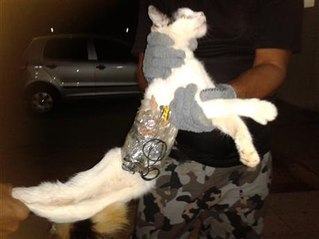 Brazil Contraband Cat