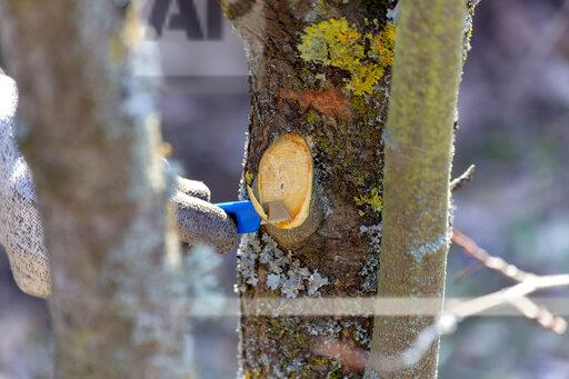 Pruning of trees with cutter