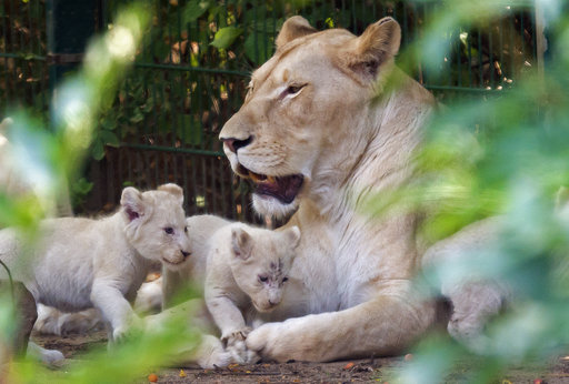 Tipping the scales: White lion cubs bulking up in Germa